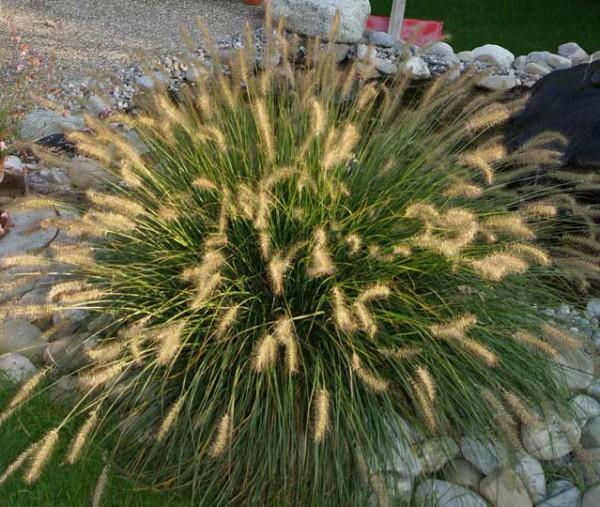Lampenputzergras , Pennisetum alopecuroides Hameln