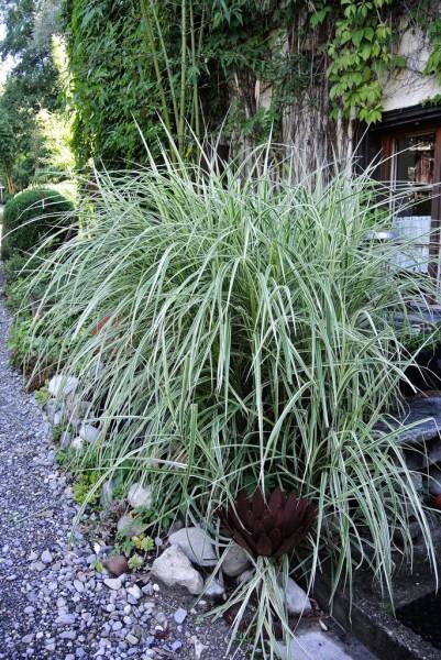 miscanthus sinensis 39 variegatus 39 wei buntes chinaschilf gr ser pflanzen garten pflanzen. Black Bedroom Furniture Sets. Home Design Ideas