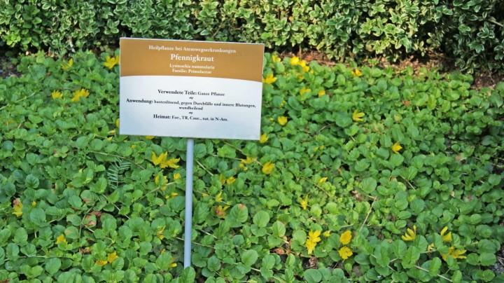 lysimachia nummularia pfennigkraut teichpflanzen wasser pflanzen bambuswald bambus und. Black Bedroom Furniture Sets. Home Design Ideas