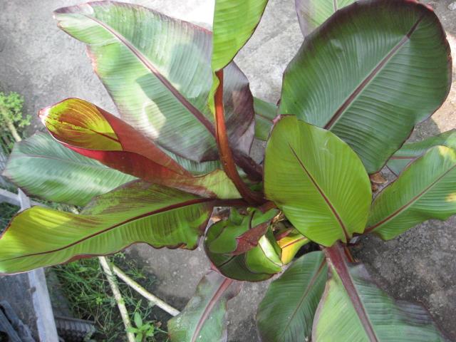 Bananen pflanzen im garten mediterranen pflanzen im - Bambus zimmerpflanze pflege ...