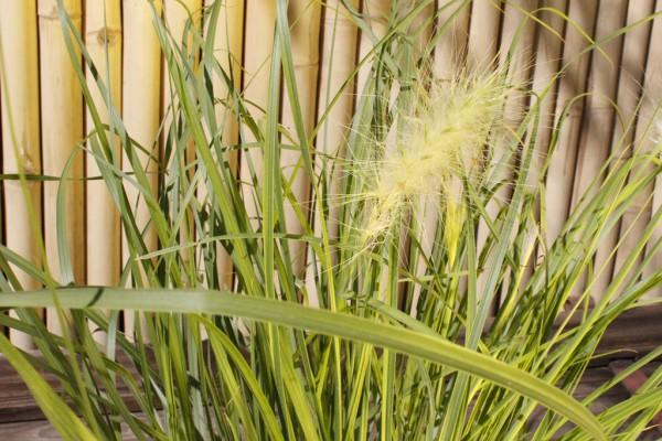 Wolliges Federborstengras, Pennisetum villosum