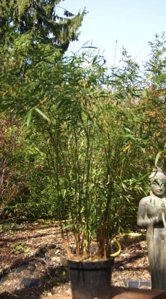 fargesia scabrida bambus ohne ausl ufer fargesia bambus bambuswald bambus und pflanzen. Black Bedroom Furniture Sets. Home Design Ideas