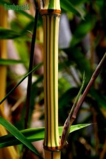 Zauber Bambus, Phyllostachys vivax 'Aureocaulis'