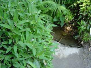 Kleiner Bambus Shibataea kumasaca, Mäusedorn Bambus