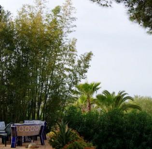 Goldrohr Bambus, Phyllostachys aurea