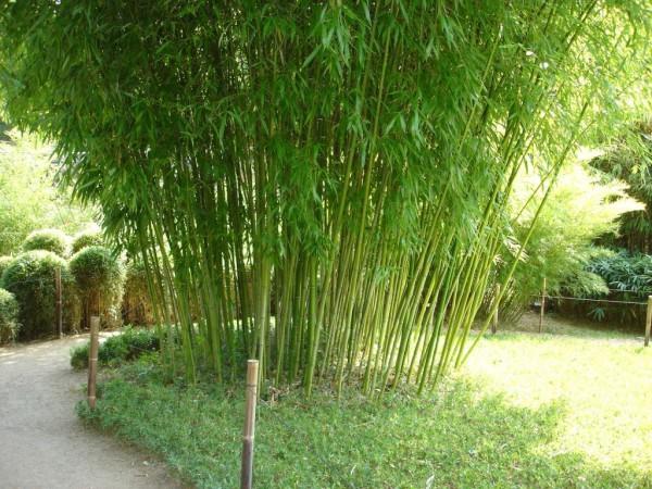 Grüner Pulver Bambus, Phyllostachys viridiglaucescens