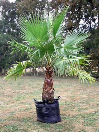 Petticoatpalme - Washingtonia robusta
