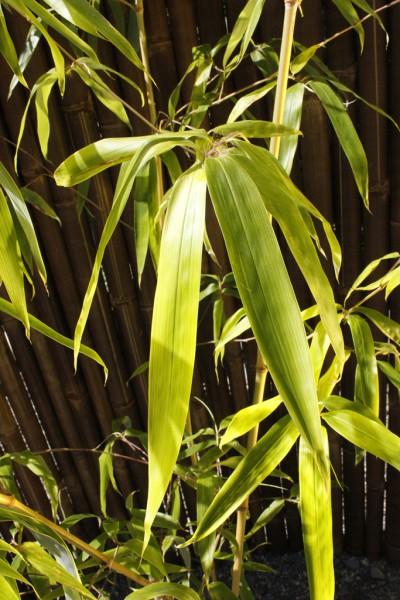 Grüner Furchen Bambus, Phyllostachys vivax 'Huangwenzhu Inversa`