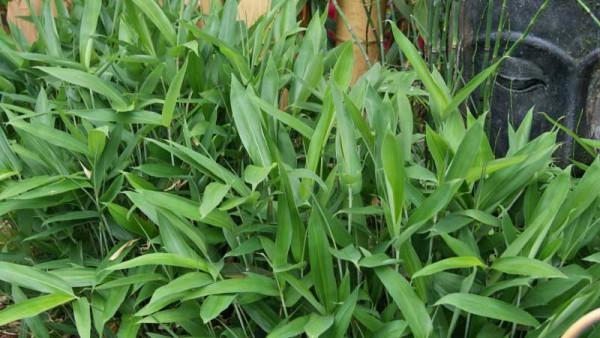 Zwergbambus Sasa tsuboiana