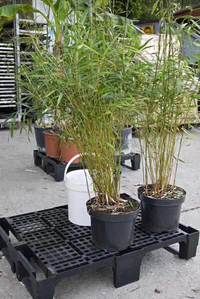 ihre pflanzenlieferung ist eingetroffen bambus pflege. Black Bedroom Furniture Sets. Home Design Ideas