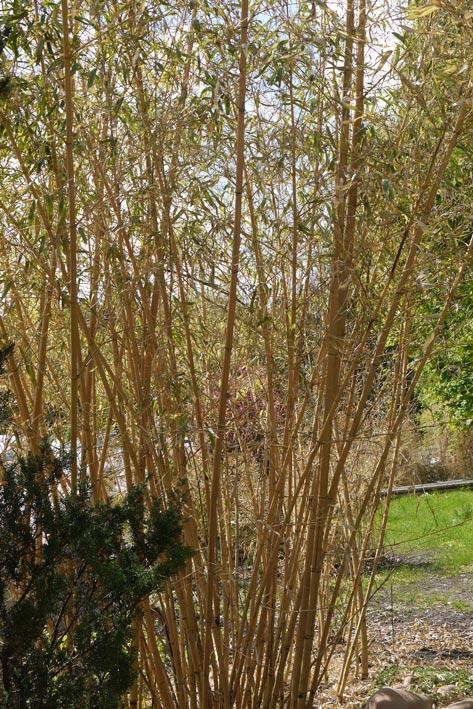 Bambusschaden Nach Dem Harten Winter 2012 Bambus Pflege Bambus