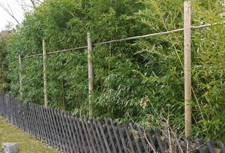 bambushecken sorten und pflanzabstand bambus und. Black Bedroom Furniture Sets. Home Design Ideas