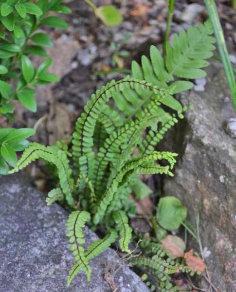 Braunstieliger Streifenfarn, Asplenium trichomanes