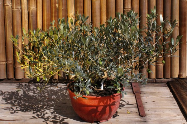 Olivenbaum Strauch, Olea europea