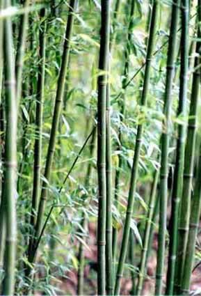 Phyllostachys bissetii, Grüner Bambus