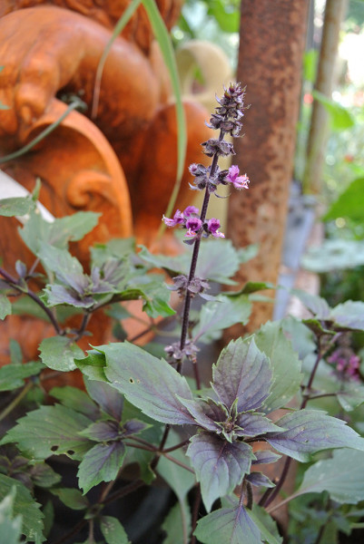 Strauchbasilikum, Ocimum basilicum 'Magic Mountain'