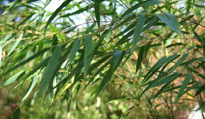 fargesia-scabrida-bambuswald-450f2babac5df9