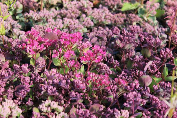 Himalaja Fetthenne, Hylotelephium cauticola