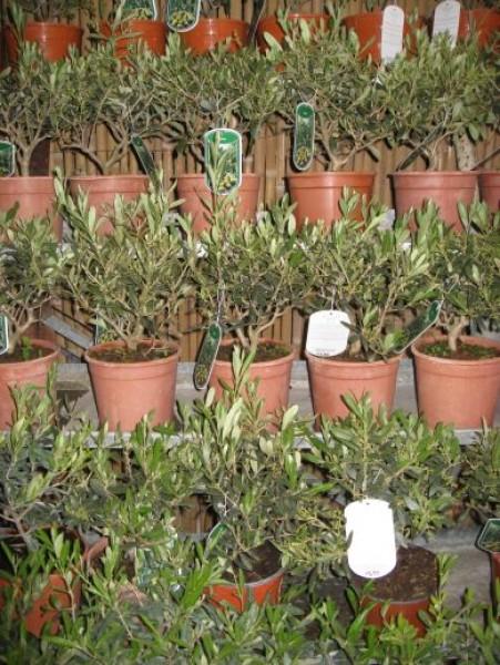 kleiner olivenbaum bonsaiartig gewachsen mediterrane. Black Bedroom Furniture Sets. Home Design Ideas