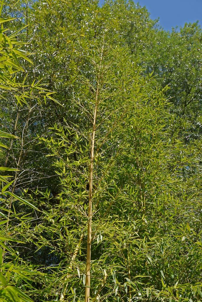 phyllostachys-vivax-aureocaulis-2012-0350eff83a1b1c050fc0af5acd39