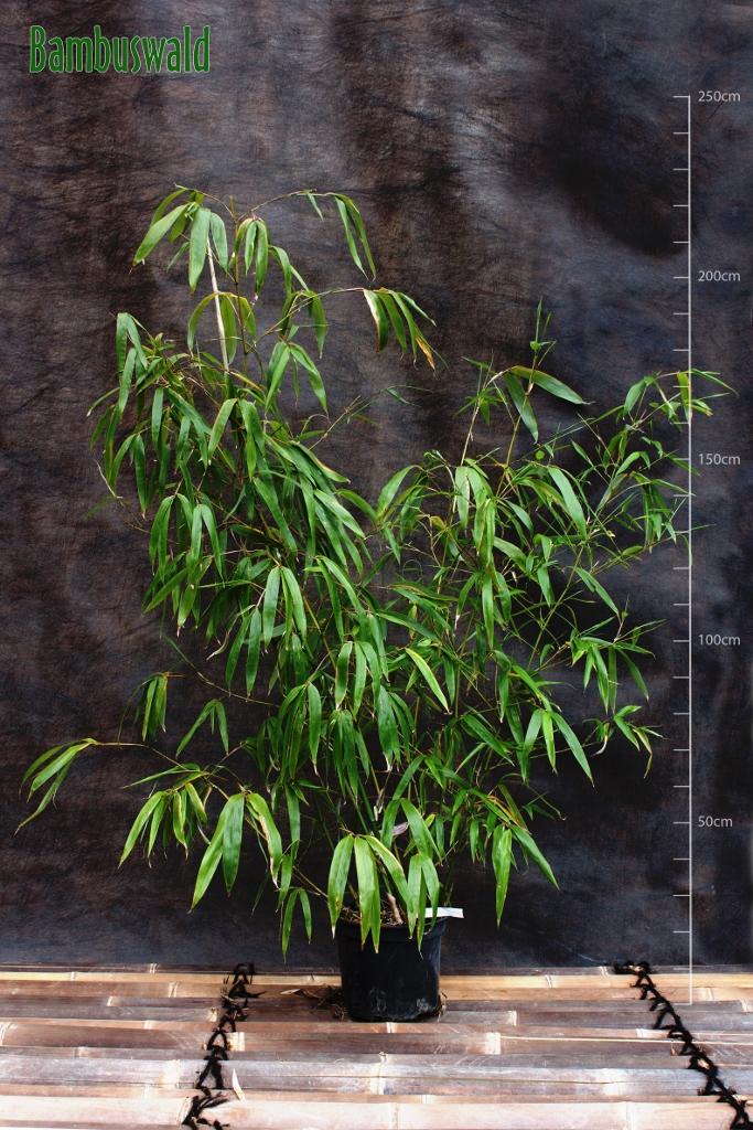 fargesia robusta 39 wolong 39 bambus ohne ausl ufer fargesia bambus bambus ohne ausl ufer. Black Bedroom Furniture Sets. Home Design Ideas