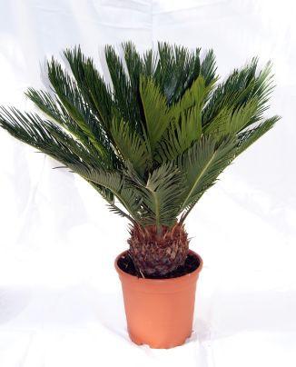 Cycas revoluta, Palmfarn