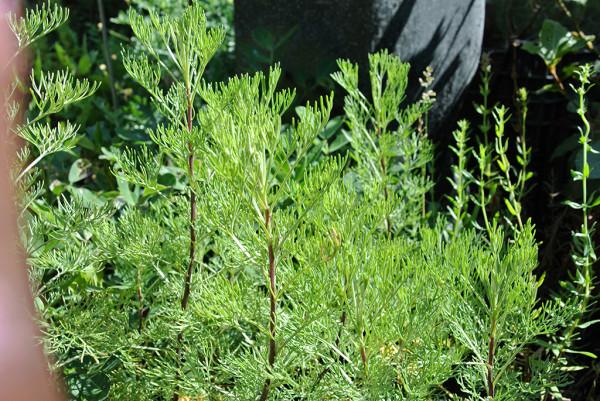 Cola Strauch (Eberraute), Artemisia abrotanum var. maritima