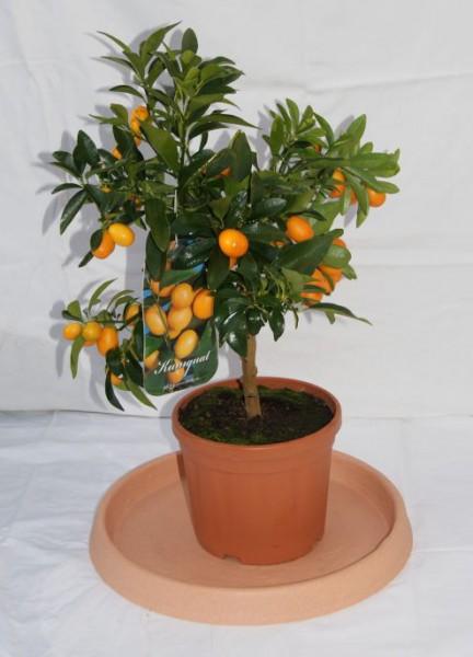 Citrus fortunella japonica, 'Kumquat'