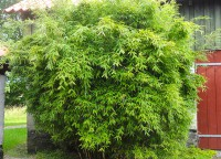 Riesen Gartenbambus, Fargesia murielae 'Dino'