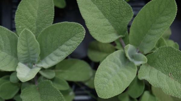 Großblättriger Salbei, Salvia officinalis 'Maxima'