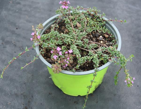 Kümmelthymian, Thymus herba-barona