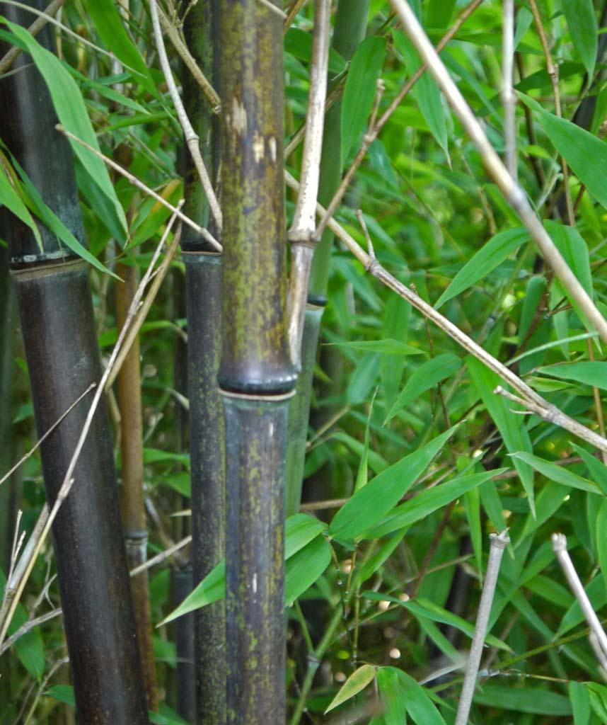 Bambus Raritaten Online Kaufen Bambuswald De Bambus Und