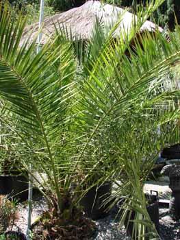 palmen pflege mediterranen pflanzen im garten bambus und pflanzenshop. Black Bedroom Furniture Sets. Home Design Ideas