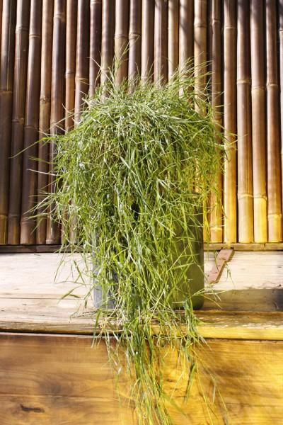 Hänge-Bambus, Agrostis stolonifera