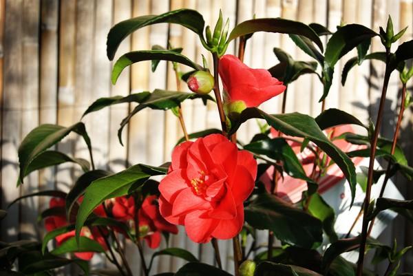 Camellia Japonica- Kamelie