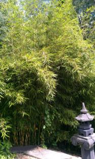 Zebra Bambus - Fargesia Robusta Campbell