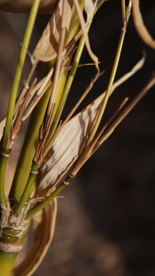 fragesia-robusta-winterschaden50fc0adf5315a