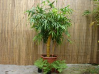 Zimmerbambus Bambusa vulgaris striata