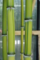 Zick -  Zack Bambus , Phyllostachys aureosulcata spectabilis