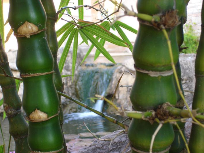 bambusa-ventricosa-bambushalme-bambuswald50e59964f0e9f50f9748357e1d