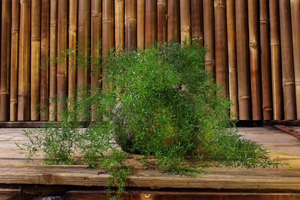 Zierspargel - Asparagus densiflorus