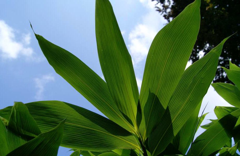bambusblatthimmel