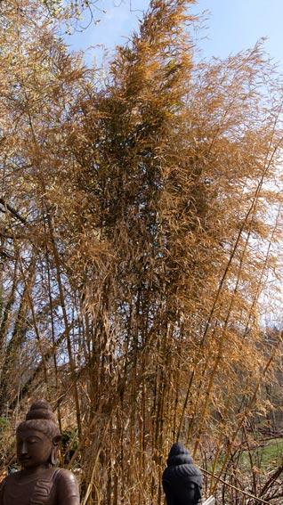 phyllostachys-mit-starken-blattschaeden-aber-lebendig