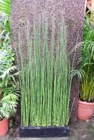 Riesenschachtelhalm, Equisetum hyemale var. robustum,
