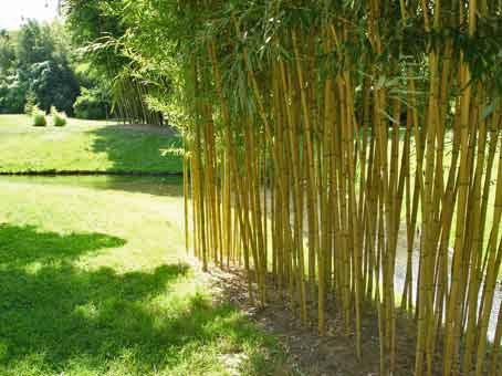 Bambus Wissen Was Ist Bambus Bambus Und Pflanzenshop