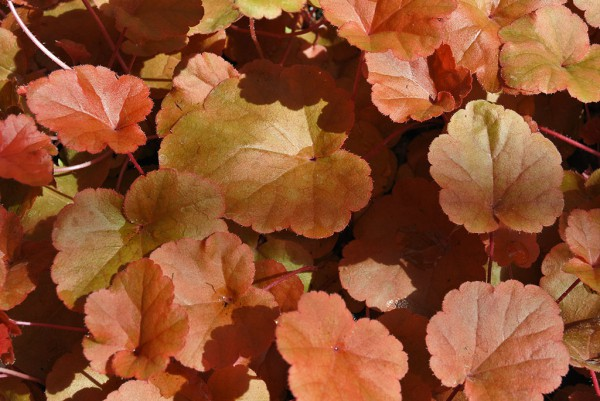 Purpurglöckchen, Heuchera Timeless Orange