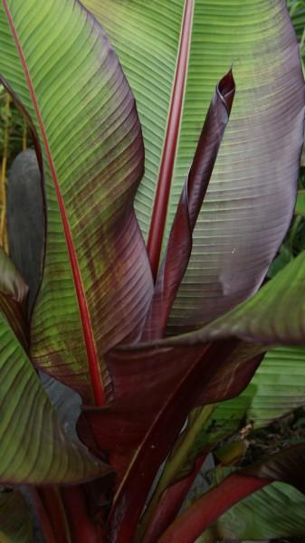 Musa ensete ventricosum, rote Zierbanane