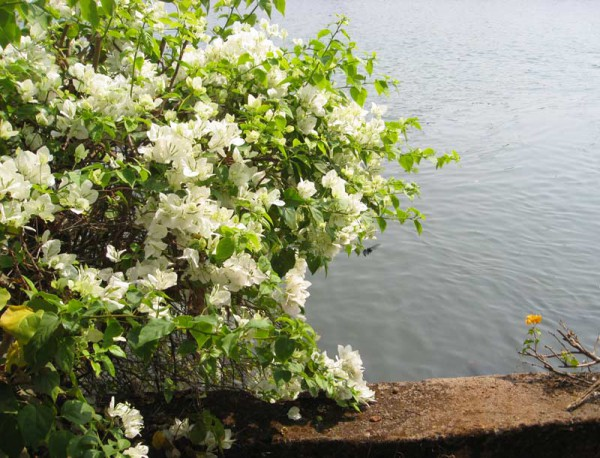 Bougainvillea glabra - Drillingsblume