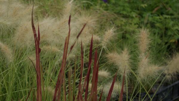Pennisetum villosum - wolliges Federborstengras