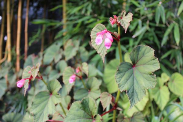 Japan-Begonie- Begonia grandis